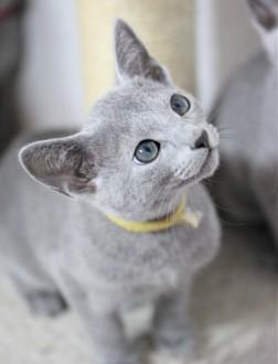 gato azul ruso barcelona russian blue kitten Iceberg 01