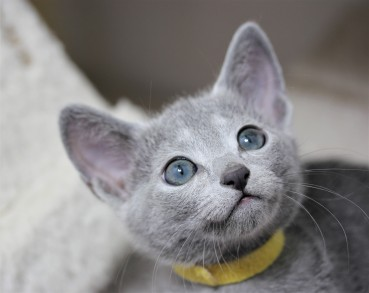 gato azul ruso barcelona russian blue kitten - iceberg 03