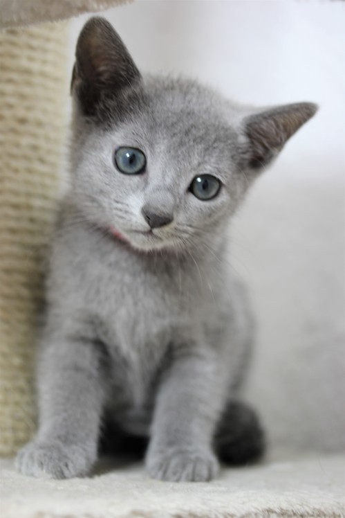 gato azul ruso barcelona russian blue kitten - iron 02
