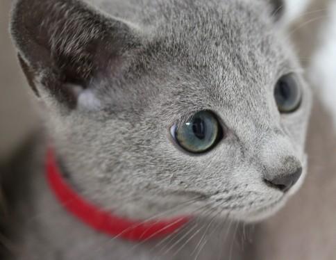 gato azul ruso barcelona russian blue kitten Iron 04