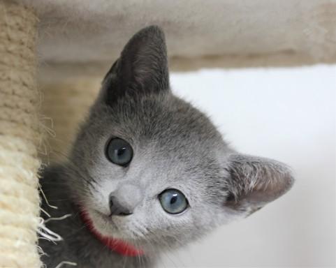 gato azul ruso barcelona russian blue kitten - iron 07