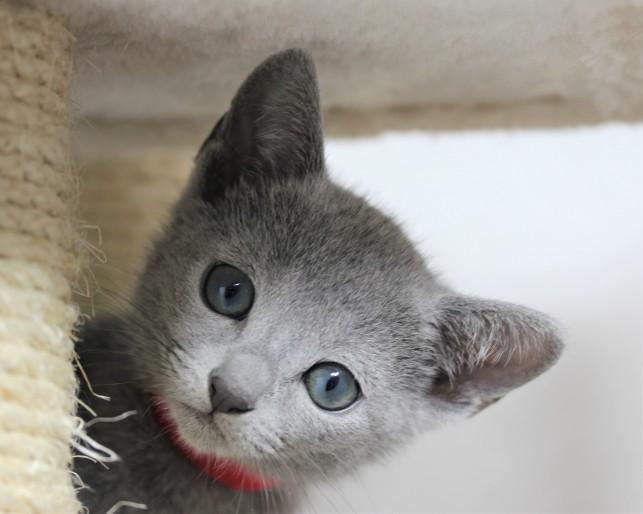 gato azul ruso barcelona russian blue kitten - iron 07