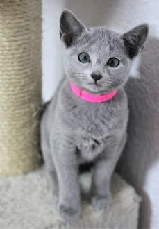 gato azul ruso barcelona russian blue kitten Islandia 03