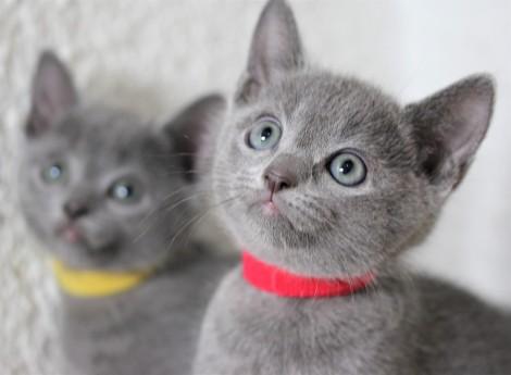 gato azul ruso barcelona russian blue kitten - Orión 05