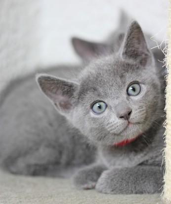 gato azul ruso barcelona russian blue kitten - Orion 03