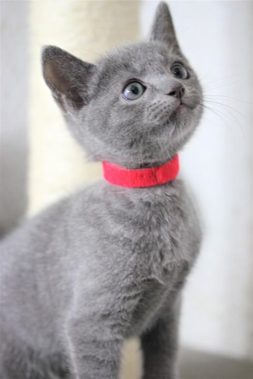 gato azul ruso barcelona russian blue kitten - Orion 07
