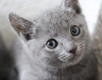 gato azul ruso barcelona russian blue kitten - Ragnar 03