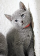 gato azul ruso barcelona russian blue kitten - Ragnar 08