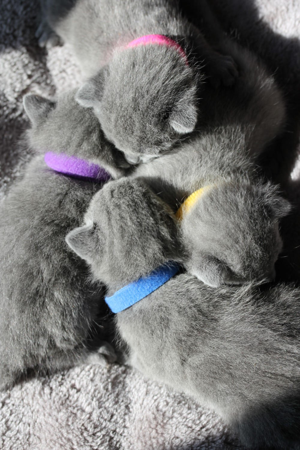 gato azul ruso barcelona russian blue cat - K