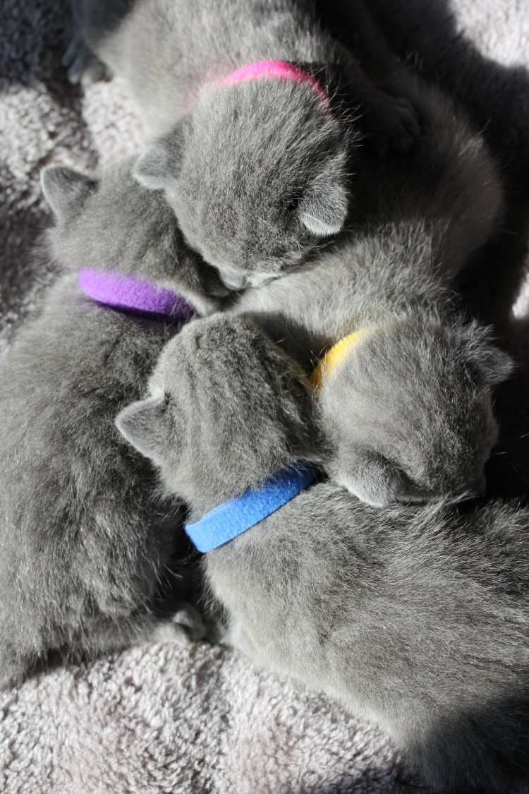 gato azul ruso barcelona russian blue cat - K