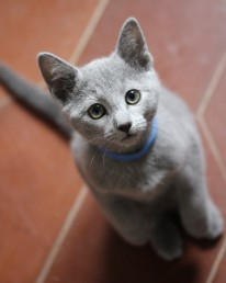 Gato azul ruso barcelona russian blue kitten - Blue 04