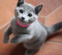 Gato azul ruso barcelona russian blue kitten - KARA 02