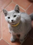 Gato azul ruso barcelona russian blue kitten - KIRA 03