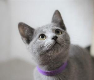 Gato azul ruso barcelona russian blue kitten - MIA 05