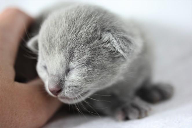 gato azul ruso barcelona russian blue kitten - Chibu 02
