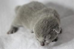 gato azul ruso barcelona russian blue kitten - Chibu 03