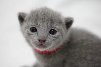 gato azul ruso barcelona russian blue kitten - Lovita 04