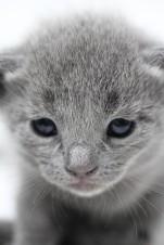 gato azul ruso barcelona russian blue kitten - Luna 01