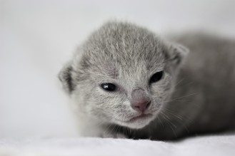 gato azul ruso barcelona russian blue kitten - Maya