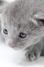 gato azul ruso barcelona russian blue kitten - PIpo 03