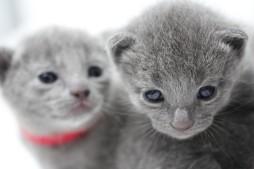 gato azul ruso barcelona russian blue kitten - Pipo 06