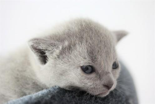 kitten russian blue barcelona azul ruso gato - chibu 01