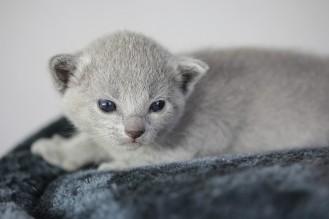 kitten russian blue barcelona azul ruso gato - chibu 03