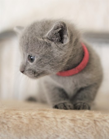 kitten russian blue barcelona azul ruso gato - lovita 03