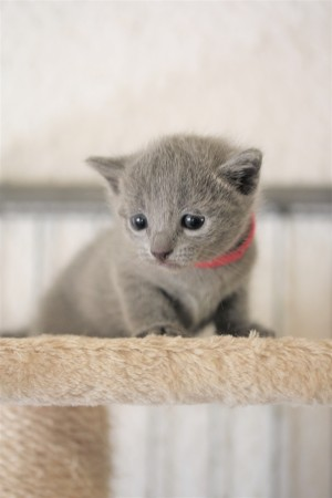 kitten russian blue barcelona azul ruso gato - lovita 05