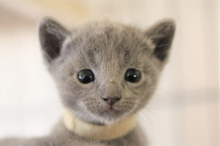 kitten russian blue barcelona azul ruso gato - luna 02