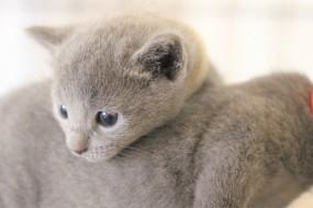 kitten russian blue barcelona azul ruso gato - luna 03