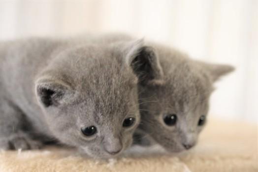 kitten russian blue barcelona azul ruso gato - luna and linda 01