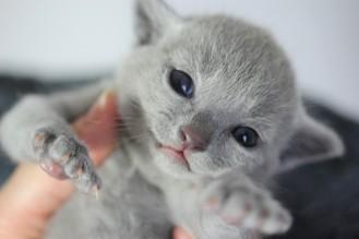 kitten russian blue barcelona azul ruso gato - maya 02