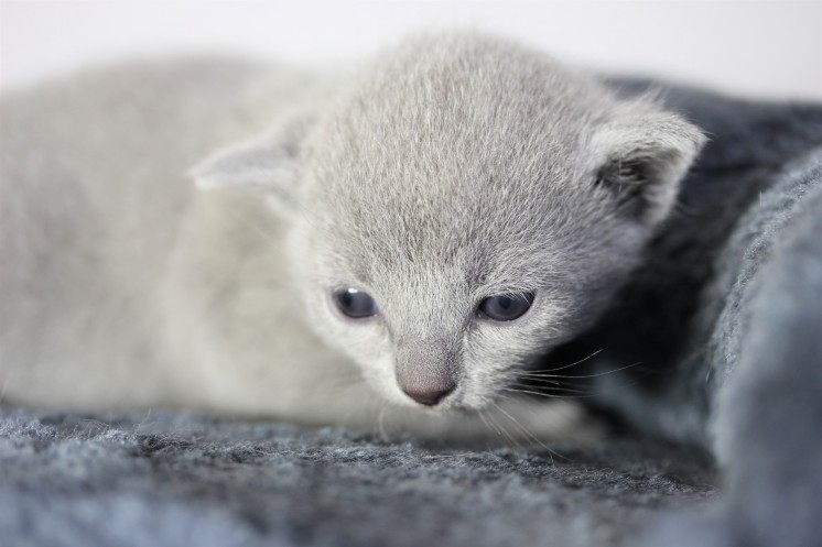 kitten russian blue barcelona azul ruso gato - maya 03