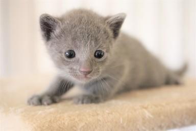 kitten russian blue barcelona azul ruso gato - pipo 03