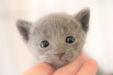kitten russian blue barcelona azul ruso gato - pipo 05