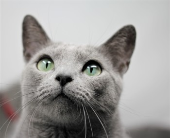 gato azul ruso barcelona russian blue kitten - Arcadia 02