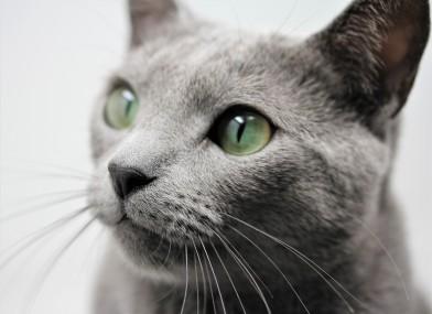 gato azul ruso barcelona russian blue kitten - Arcadia 03