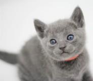 gato azul ruso barcelona russian blue kitten - Linda 03