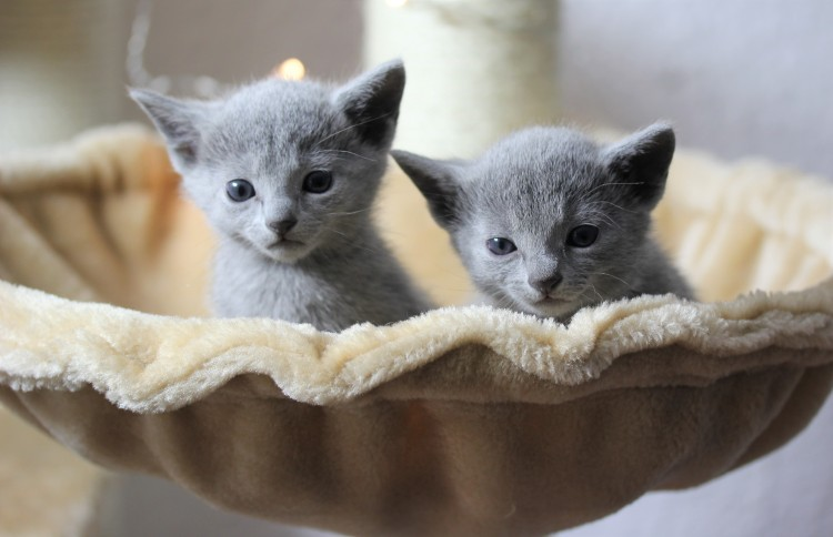 gato azul ruso barcelona russian blue kitten - Litter M 01