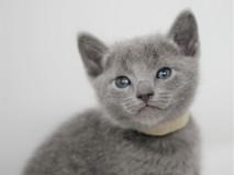 gato azul ruso barcelona russian blue kitten - Luna 03
