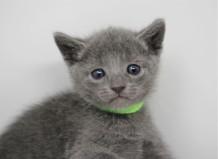 gato azul ruso barcelona russian blue kitten - Pipo 04
