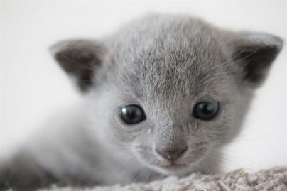russian blue kitten barcelona azul ruso gato kitten - Chibu 01