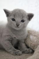 russian blue kitten barcelona azul ruso gato kitten - Chibu 08