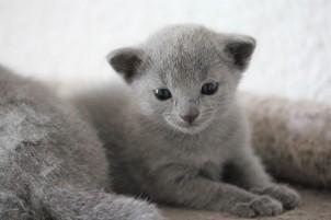 russian blue kitten barcelona azul ruso gato kitten - Chibu 10
