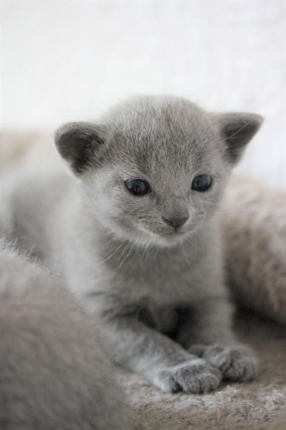 russian blue kitten barcelona azul ruso gato kitten - Chibu 11