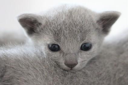 russian blue kitten barcelona azul ruso gato kitten - MAYA 02