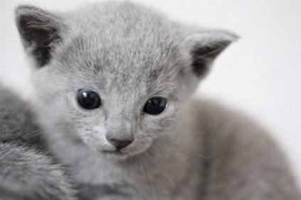 russian blue kitten barcelona azul ruso gato kitten - MAYA 05