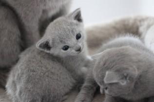 russian blue kitten barcelona azul ruso gato kitten - MAYA 07
