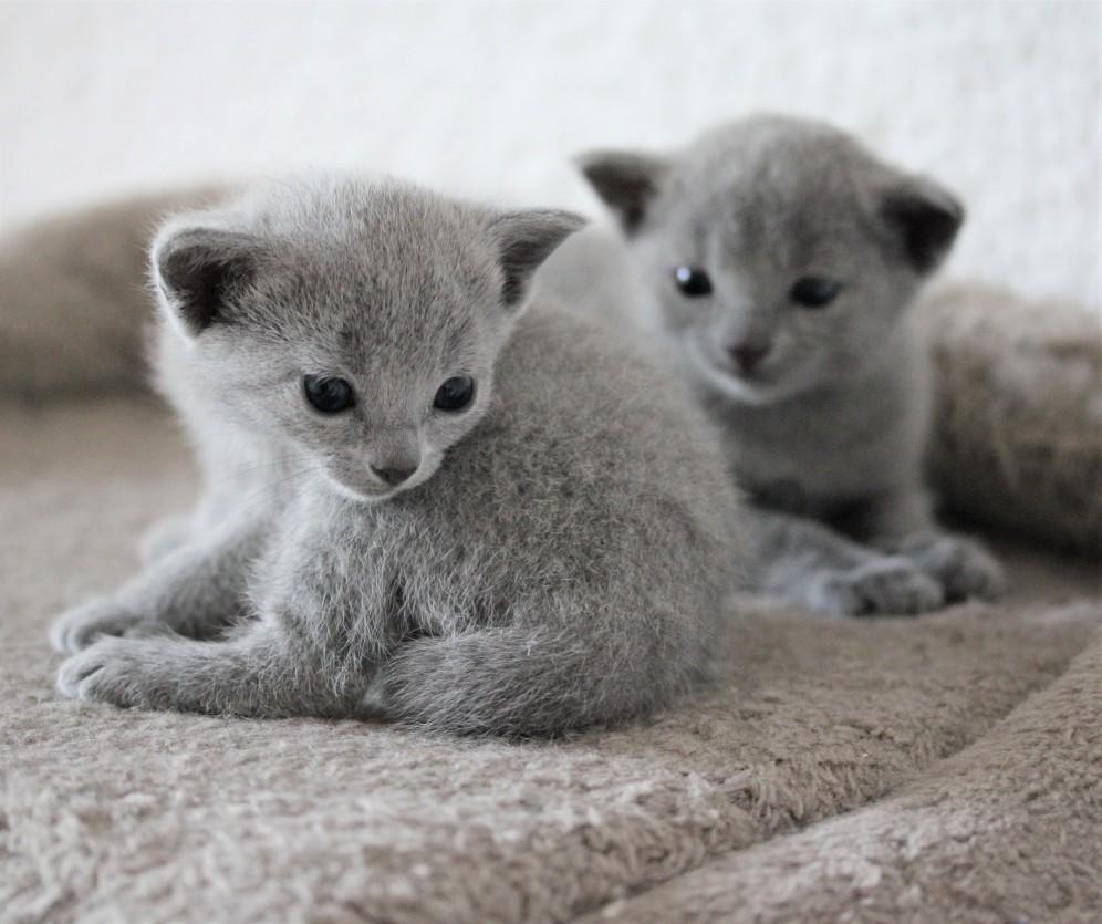 russian blue kitten barcelona azul ruso gato kitten - MAYA 09